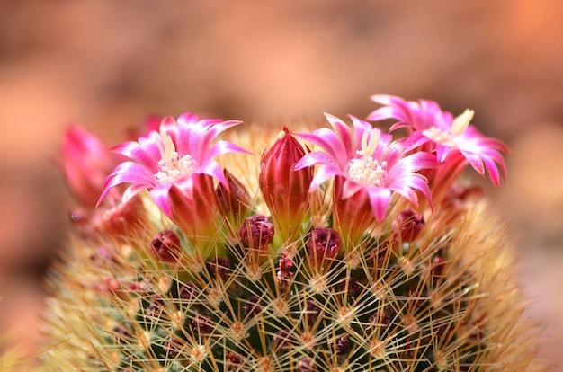 배경 흐리게에 분홍색 꽃을 가진 선인장