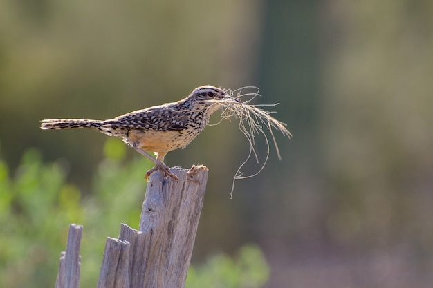 Cactus wren gathering nesting material and perched on a saguaro rib
