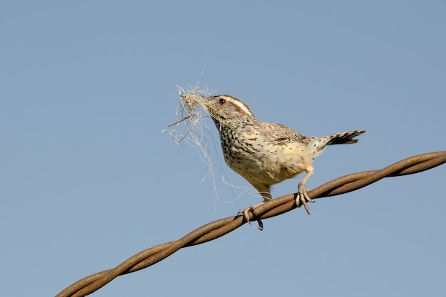 Cactus wren gathering nesting material and perched on twisted wire