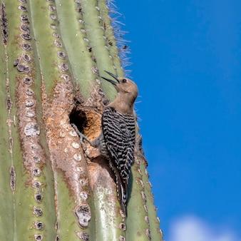 アリゾナ砂漠のサグアロサボテンの巣の前にいるサボテンミソサザイ