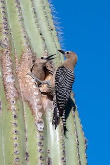 Cactus wrens nesting in saguaro cactus in the arizona desert