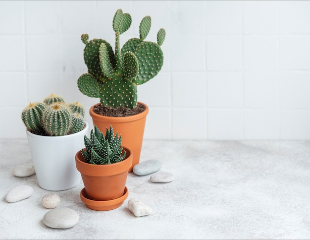 Cactuses and succulent plant in  pots on the table, house plants