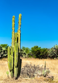 Cactuses at teotihuacan, an ancient mesoamerican city in mexico
