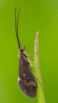 Caddisfly (trichoptera) 풀 잎에 앉아.