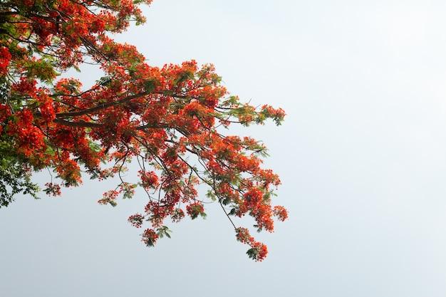 Caesalpinia pulcherrima flower or peacock flower on tree