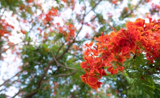Caesalpinia pulcherrima flowers  blooming branches hanging on tree .