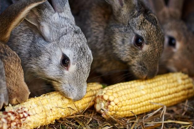 Cageの中のトウモロコシの耳を食べる灰色と茶色のウサギ