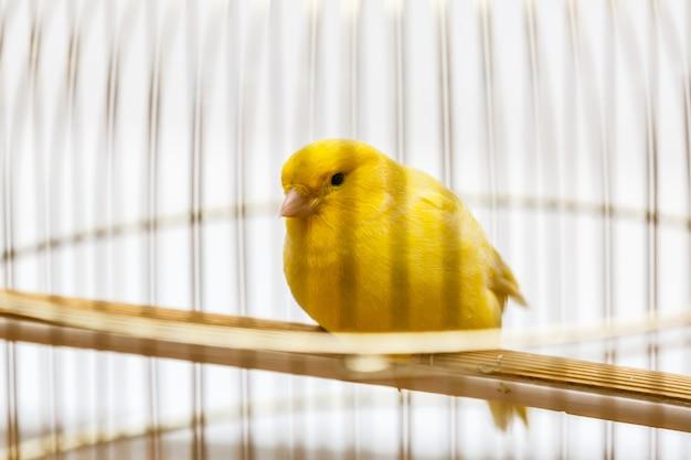 彼のcageの中の黄色いカナリア