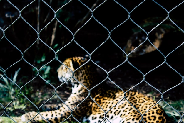 Caged spotted leopard