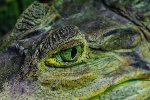 Кайман в очках (caiman crocodilus)