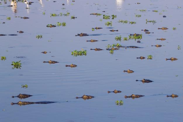 Кайман, плавающий на поверхности воды в пантанале, бразилия. бразильская дикая природа.