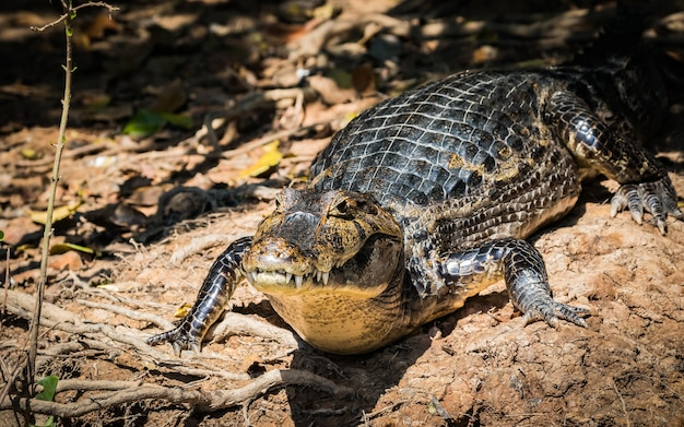 Caiman in nature