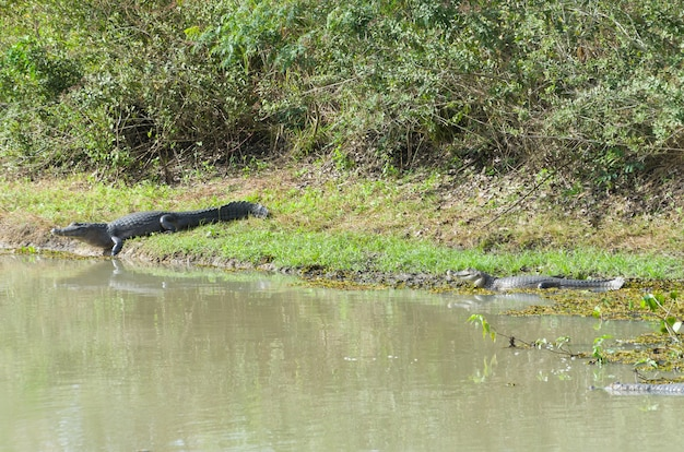 Caiman yacare in the brazilian wetland