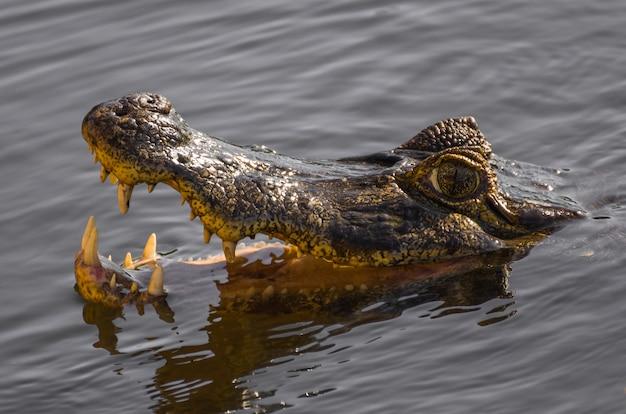 브라질 습지의 caiman yacare