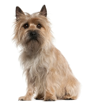 Cairn terrier, 18 months old, sitting
