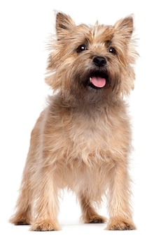 Cairn terrier, 4 years old, standing