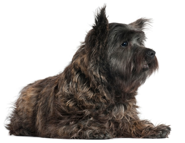 Cairn terrier, 8 months old, lying