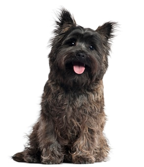Cairn terrier, 8 months old, sitting