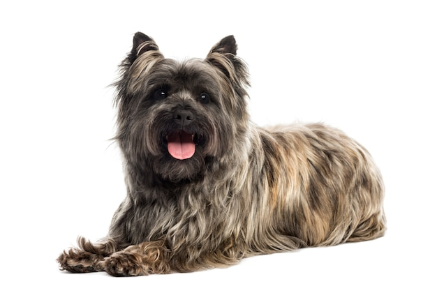 Cairn terrier panting looking at the camera isolated on white
