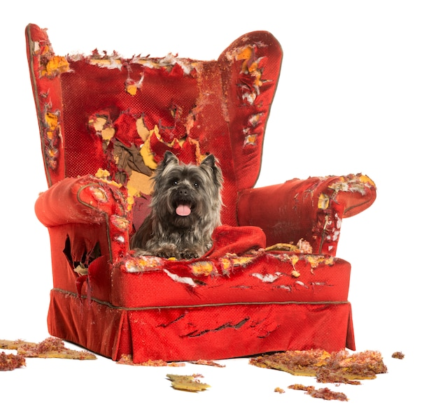 Cairn terrier panting lying on a destroyed armchair