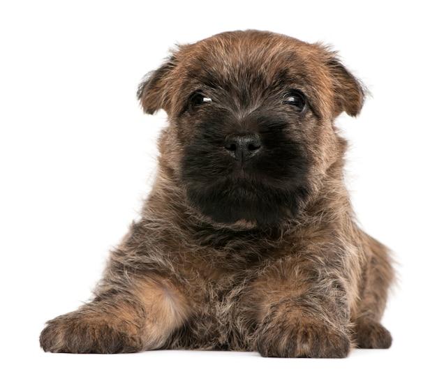 Cairn terrier puppy, 6 weeks old