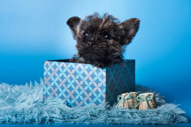 Cairn terrier puppy dog in box