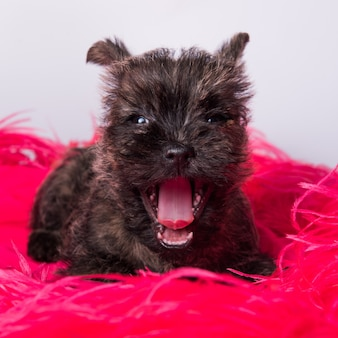 Cairn terrier puppy dog is smiling or yawning.