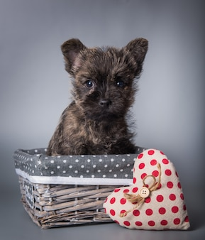 Cairn terrier puppy with red heart valentine s day
