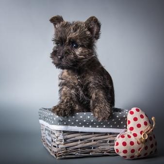 赤いハートのバレンタインデーのケアンテリア子犬