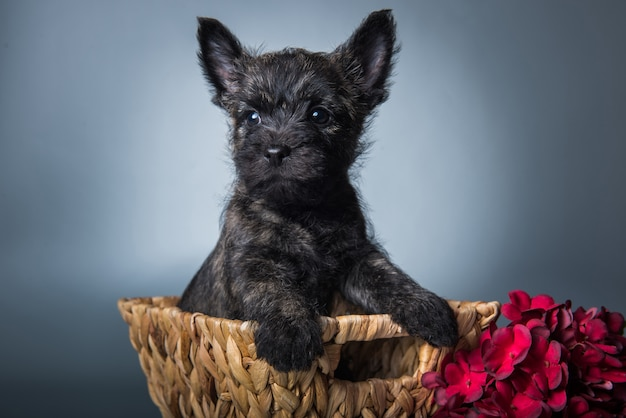 Cairn terrier puppy with red hydrangea flowers