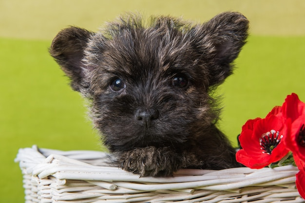 Cairn terrier puppy with red poppies flowers