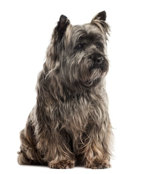 Cairn terrier sitting isolated on white