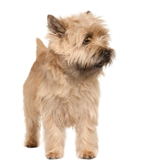 Cairn terrier with 4 years old. dog portrait isolated