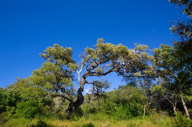 Cala pilar近くの北部のコストでメノルカ樫の木の森