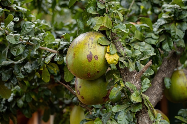 Calabash tree of the species crescentia cujete with selective focus