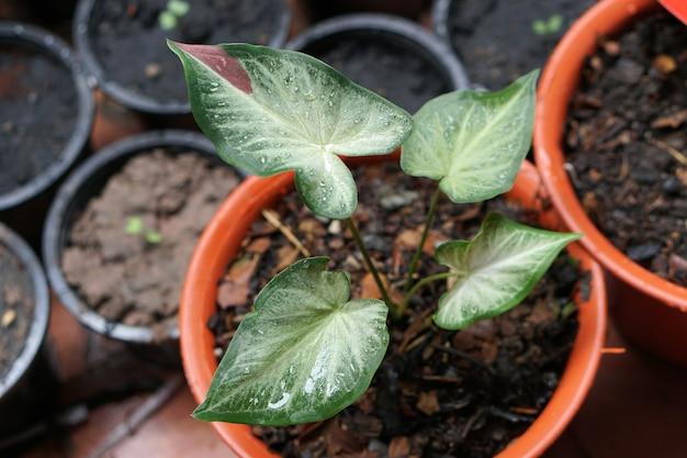 Каладиум биколор чайхон в горшке отличное растение для украшения сада