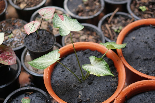 Caladium bicolor chaichon in 냄비 훌륭한 식물 정원 장식