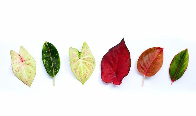 흰색 표면에 aglaonema 잎 caladium 바이 컬러 잎