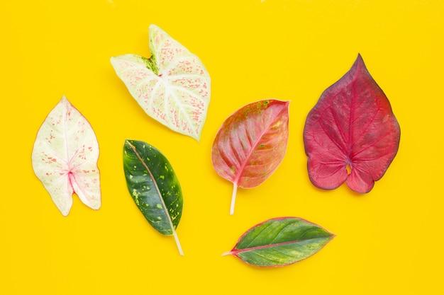 Caladium 색 잎 aglaonema와 노란색 배경에 나뭇잎.