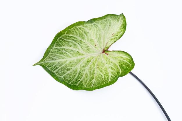 Caladium 잎에 흰색입니다. 평면도