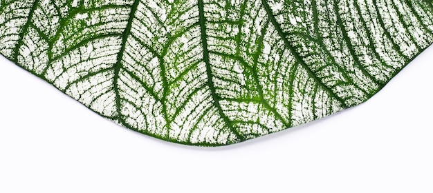 Текстура листьев каладиума на белом фоне.