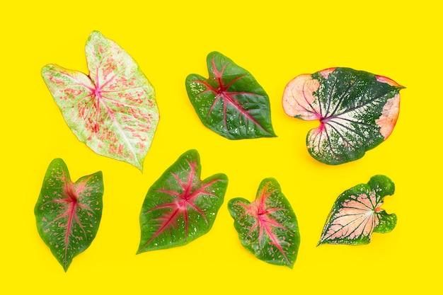 ニシキイモの葉の組成