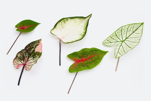 Caladium leaves isolated on white.