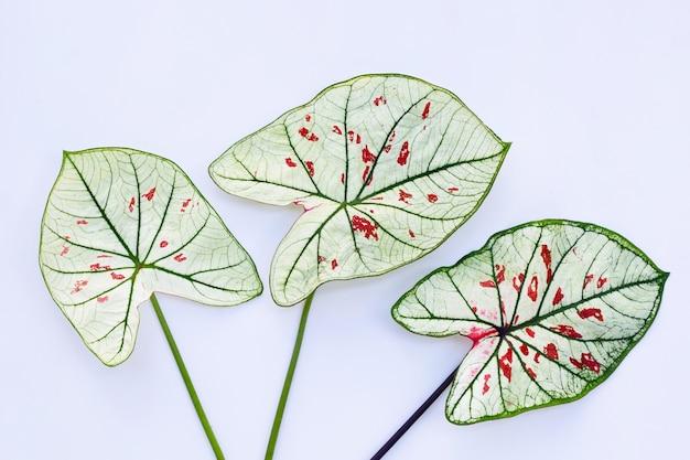 Caladium 잎에 흰색 표면