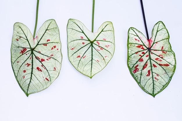 Caladium은 흰 벽에 나뭇잎.