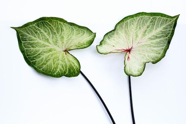 Caladium leaves. top view