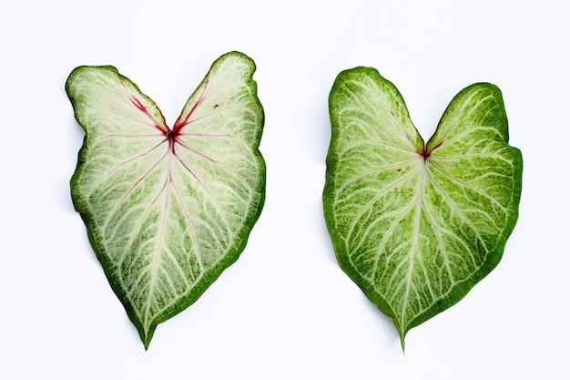 Caladium 잎. 평면도
