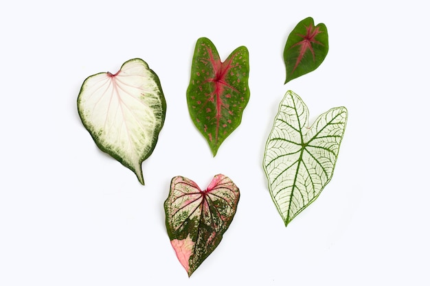 Caladium leaves on white background. top view