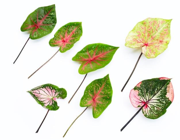 Caladium leaves on white background.