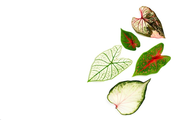 Caladium leaves on white surface